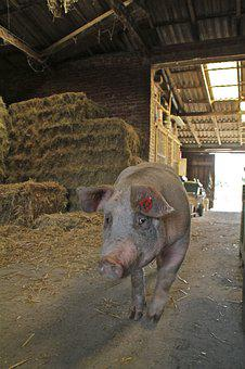 Pig, Sow, Farm, Domestic Pig, Agriculture, Livestock