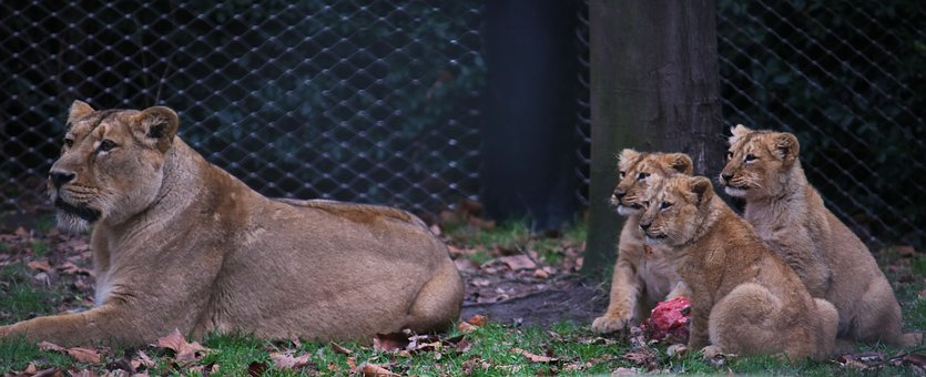 Lion, Mom, Baby, Meat, Eating, Mother, Nature, Love