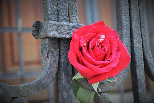 Red Rose, Old Iron Fence, Love Symbol, Snow, Winter