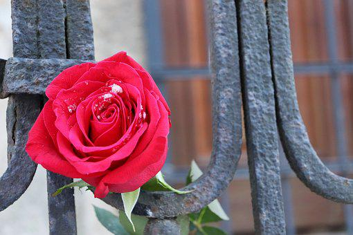 Red Rose, Old Iron Fence, Love Symbol, Snowflakes