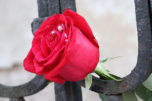 Red Rose, Old Iron Fence, Love Symbol, Winter, Romantic