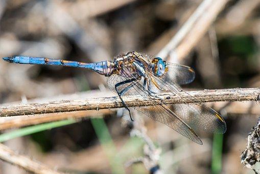 Dragonfly, Emperor, Macro, Insect, Wildlife, Stem, Bug
