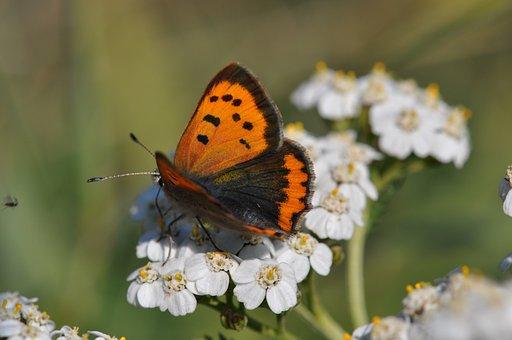 Copper, Butterfly, Butterflies, Summer, Bug, Meadow