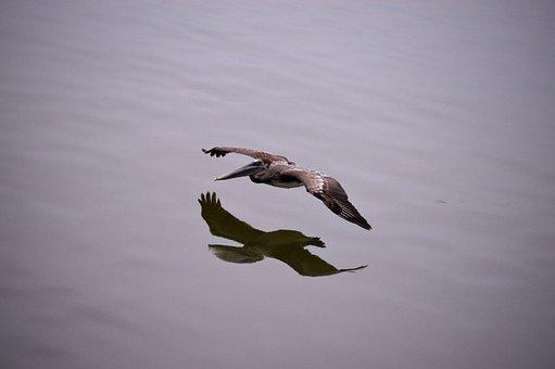 Pelican, Sea, Ocean, Plumage, Reflection, Mirror