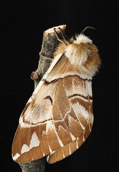 Kentish Glory, Moth, Macro, Insect, Lepidoptera, Wing