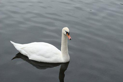 Goose, Water, Nature, Animals, Bird, Animal, Geese
