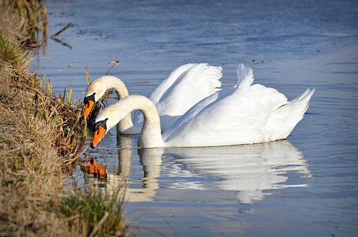 Swan, Water Bird, Animal, Plumage, Feather, Head