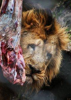 Lion, Male, Predator, Animal, Africa, Mane, Dangerous