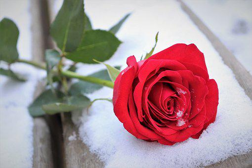 Red Rose On Bench, Love Symbol, Snow, Winter, Romantic