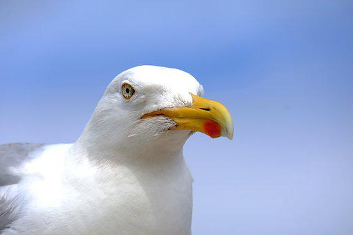Gull, Bird, Flying, Freedom, Beach, Sky, Nature
