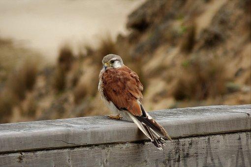 Falcon, Hobby, Bird, Australia, Victoria