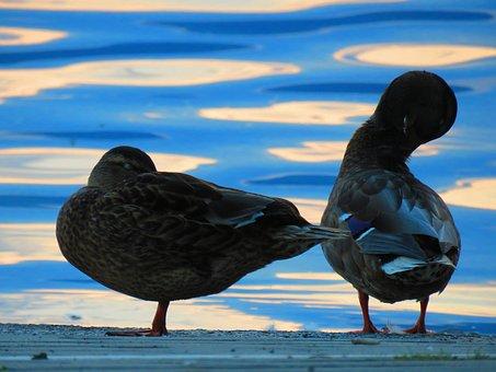 Mallards, Water, Water Bird, Duck, Mallard, Drake