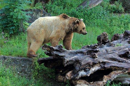 Brown Bear, Bear, Wild Animal