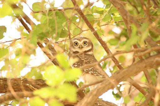 Owl, Bird, Hiding, Animal, Nature, Wildlife, Eyes, Wild