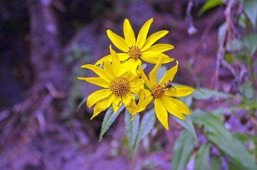 Woodland Sunflower, Flowers, Woodland, Sunflower
