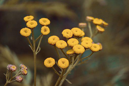 Tansy, Tanacetum Vulgare, Worm Herbal, Yellow