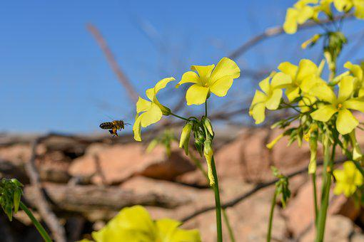 Formentera, Bee, Yellow, Insect, Flower, Honey, Animal