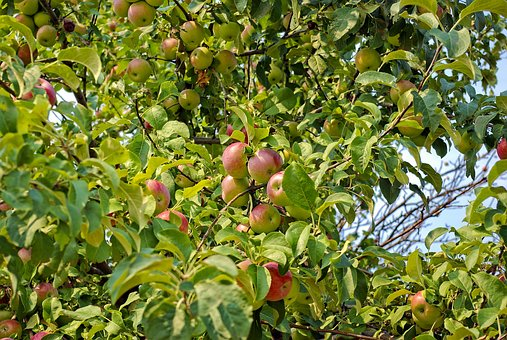 Apples In Montana, Tree, Apple, Fruit, Ripe, Orchard