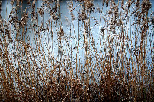 Reeds, Dry, Reed, Water, Frozen, Area, Ice, Background