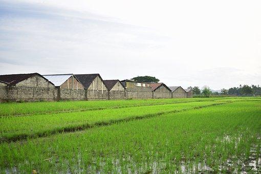 Rice Field, Agriculture, Rice, Farm, Asia, Landscape