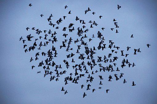 Birds, Covey, A Bevy Of, Silhouette, Flies, Wings