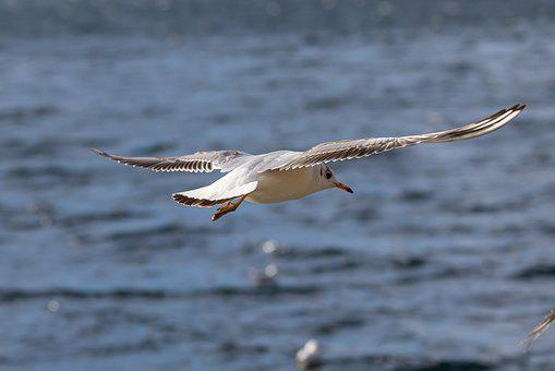 Seagull, Black Headed Gull, Bird, Animal, Nature