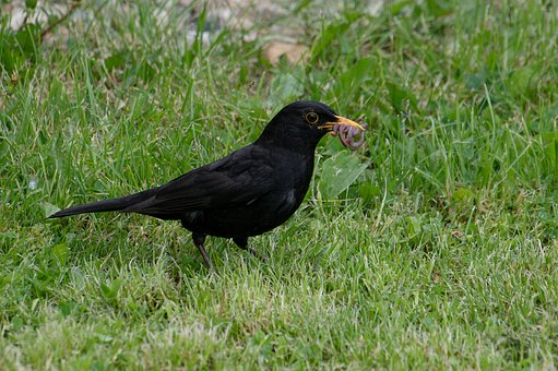 Blackbird, Collects, Earthworms, The Cubs