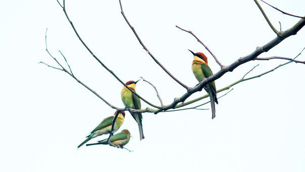 India, Kerala, Bird, Avian, Branch, Perched, Bee-eater