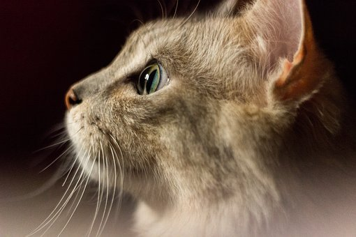 Cat, Cute, Whiskers, Ear, Green, Eyes, Nose, Red, Mouse