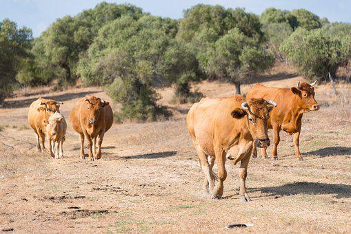 Cows, Herd, Spain, Dry, Cattle, Farm, Dairy, Livestock