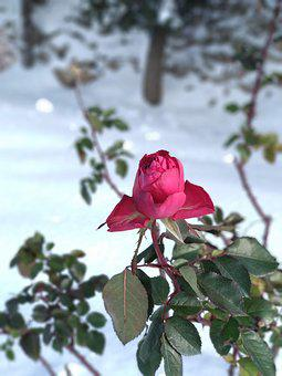 Rosa, Snow, Nature, Flower, Love, Cold, Christmas