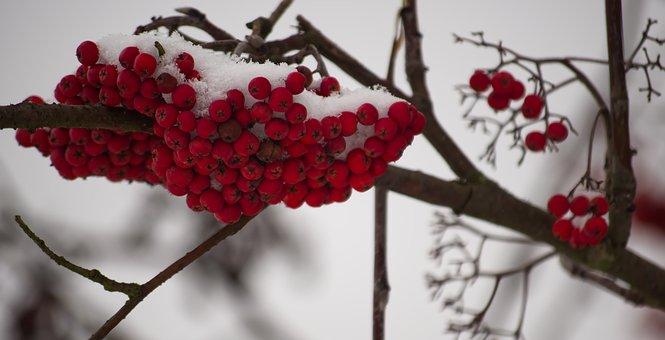 Winter, Snow, Berries, Cold, Nature, Landscape