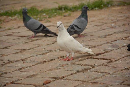 Bird, White, Piegon, Nature, Animal, Feather, Creature
