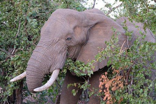 Elephant, South Africa, Kruger National Park