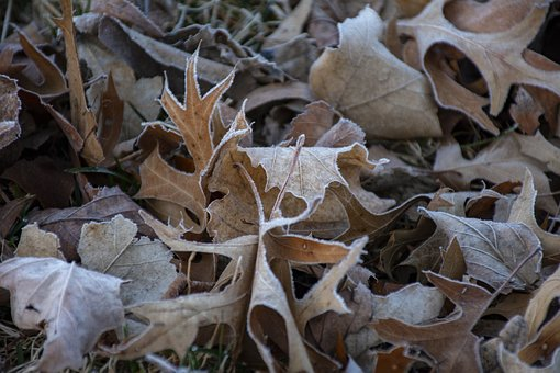 Leave, Leaf, Frost, Frosty, Fall, Autumn, Trees, Nature