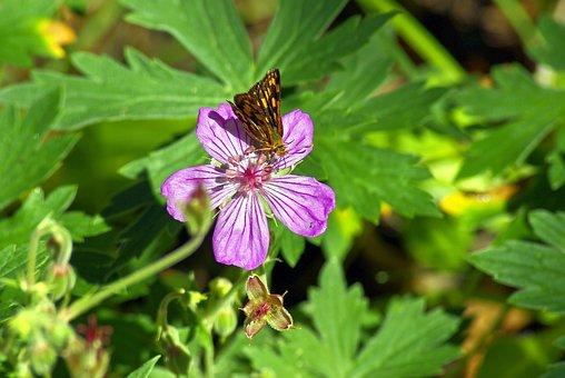 Butterfly On A Pink Wildflower, Butterfly, Flower