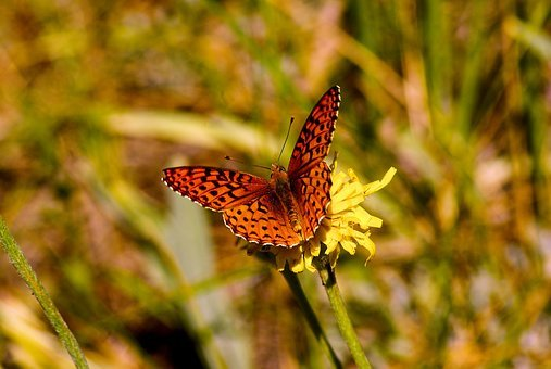 Butterfly On A Yellow Wildflower, Butterfly, Flower