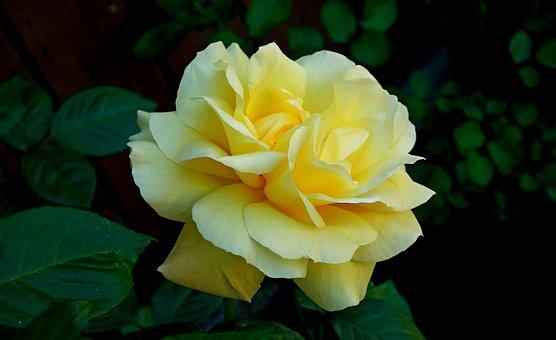 Rose, Flower, Fragrant, Beauty, Garden, Summer, Nature