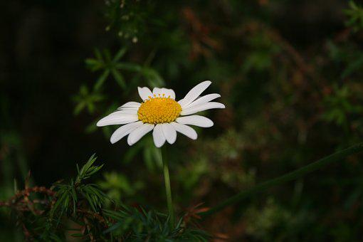 Daisy, Flower, Grass, Flora, Nature, Bloom, Petal