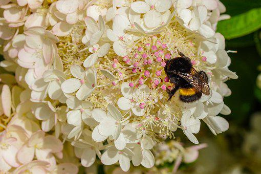 Bumble-bee, September Hydrangea, Pollination, Flower