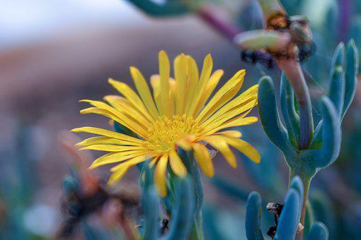 Formentera, Flower, Daisy, Yellow, Nature, Colors