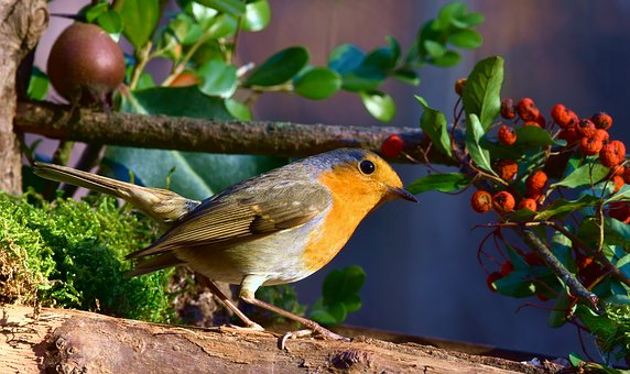 Robin, Bird, Red, Forest, Berry, Nature, Eye, Beak