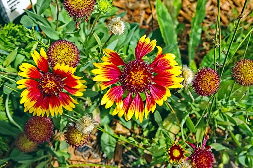 Colorado Blanket Flowers, Gaillardia, Asteraceae