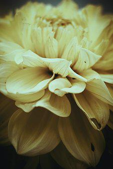 Flower, Dahlia, Garden Petals, Growing, Summer, Vintage