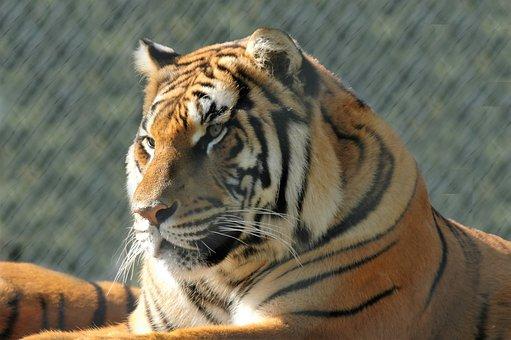 Tiger, Animal, Predator, Feline, Nature, Mammals, Head