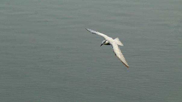 Tern, Whiskered, Bird, Avian, Flight, Flying, Migratory