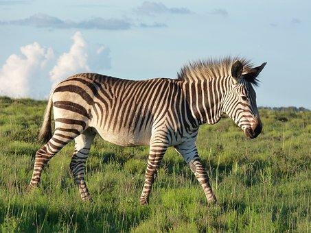 Hartmann's, Mountain Zebra, Zebra, Nature, Savannah