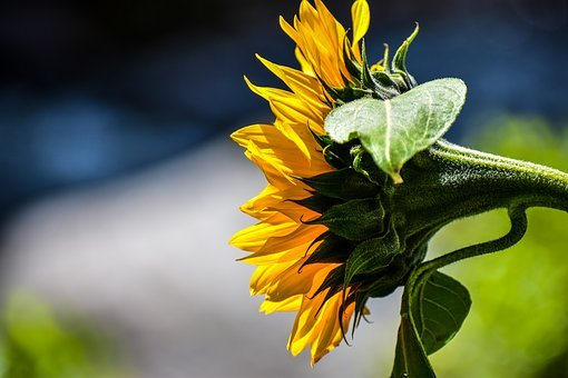 Sunflower, Nature, Flower, Colorful