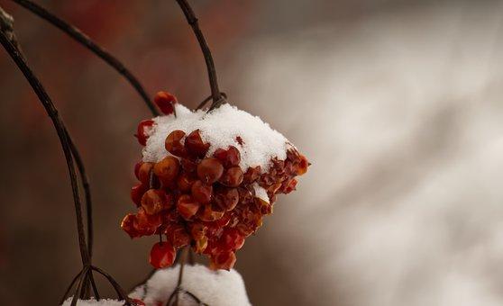 Winter, Snow, Berries, Snowy, Cold, Nature, Landscape