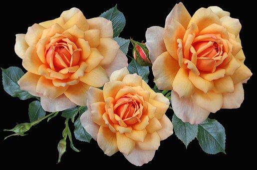 Roses, Apricot, Flowers, Fragrant, Garden, Nature